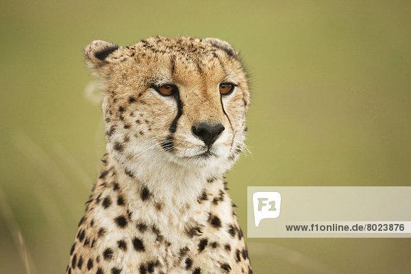 Gepard (Acinonyx jubatus)  Portrait