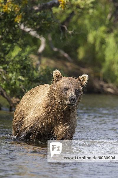 Braunbär  Ursus arctos  hoch  oben  Nationalpark  sehen  klein  waten  Gericht  Mahlzeit  Katmai National Park and Preserve  Bär