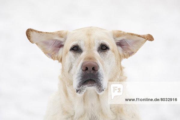 Tag  heben  gelb  Wind  Hund  Labrador  Retriever  Kanada  Manitoba  Winnipeg