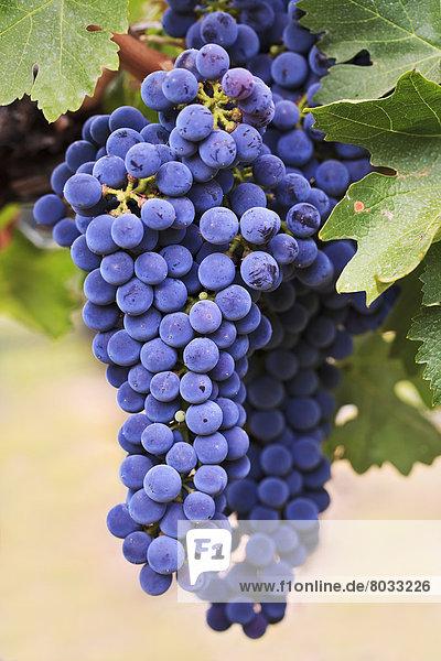 Wein  Wachstum  Tal  Vielfalt  Weintraube  rot  Kletterpflanze Wein ,Wachstum ,Tal ,Vielfalt ,Weintraube ,rot ,Kletterpflanze