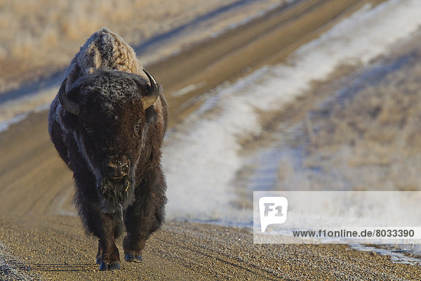 bedecken  Fernverkehrsstraße  Wiese  Bison  Frost