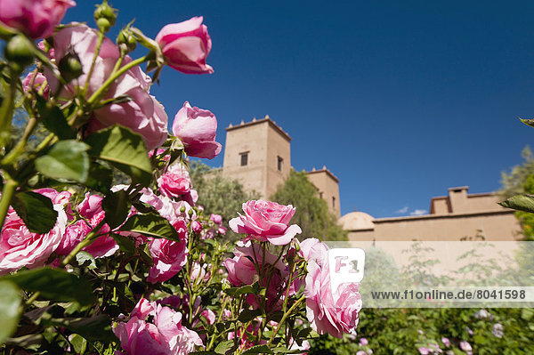hinter  Wachstum  Garten  Rose  Kasbah  Marokko