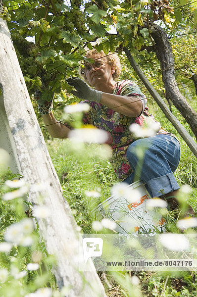 Woman grape picking  Podravje  Maribor region  Slovenia