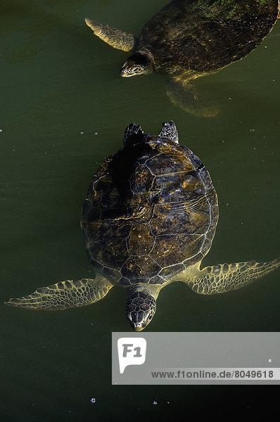 Turtles in Turtle Hospital  Marathon  Florida Keys  Florida  USA