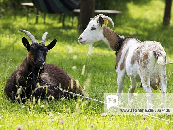 Two goats in a garden