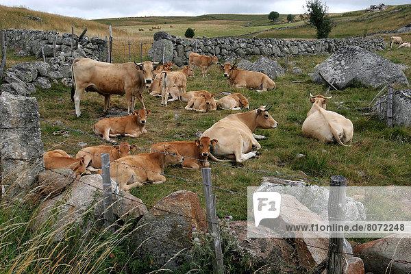 Landscape in the Lozere department (48) : Aubrac Plateau. Aubrac cows