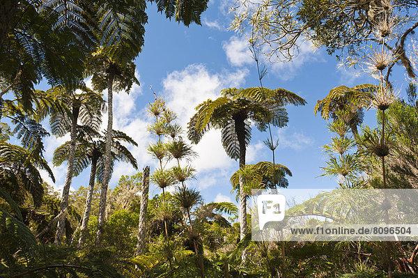 Wald mit Baumfarnen (Cyatheales) und Bambus