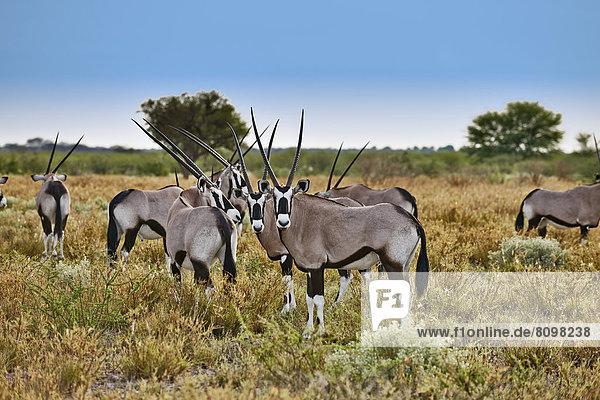 Herde Spießböcke  Oryx gazella  Central Kalahari Game Reserve  Botswana  Südafrika  Afrika