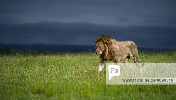 Löwe (Panthera leo)  männlich  im aufziehenden Gewitter