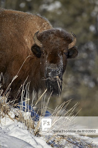 Bison (Bison bison) cow eating in the winter  Yellowstone National Park  Wyoming  United States of America  North America