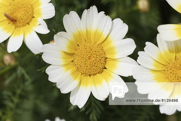 Kronenwucherblume (Glebionis coronaria var. discolor)