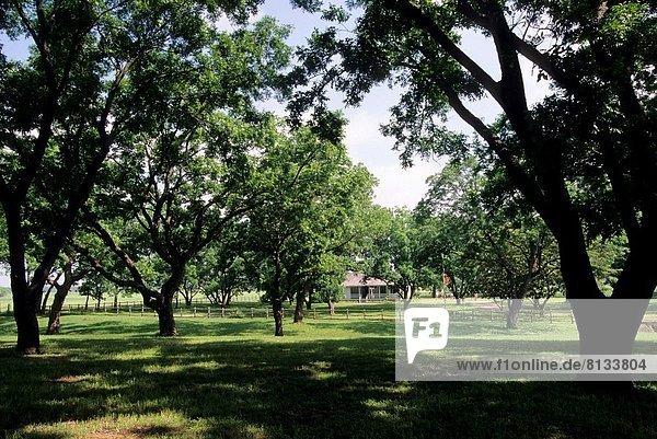 Vereinigte Staaten von Amerika USA Baum Texas