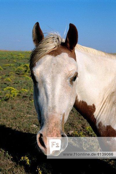 USA  KANSAS  FLINT HILLS  HIGHWAY 177  HORSE IN PASTURE.