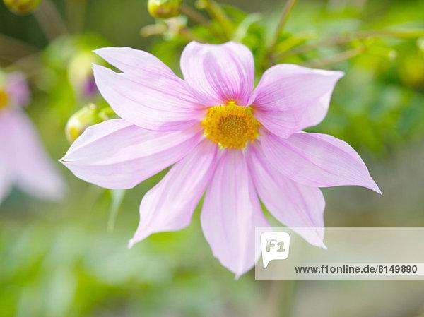 Dahlia Blume