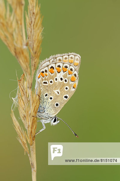 Hauhechel-Bläuling(Polyommatus icarus)  Weibchen