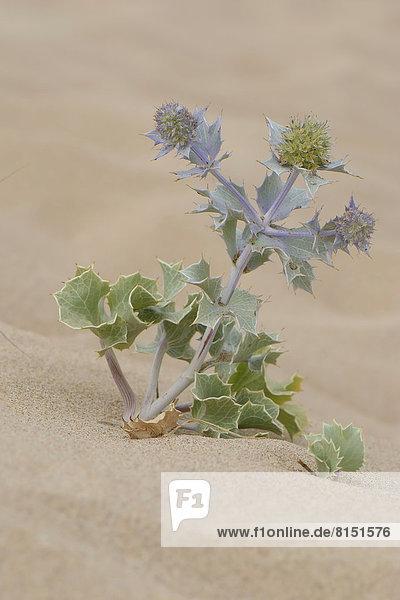 Stranddistel (Eryngium maritimum) im Sand