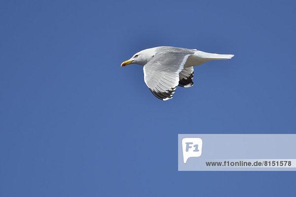 Fliegende Mittelmeermöwe (Larus michahellis) vor blauem Himmel