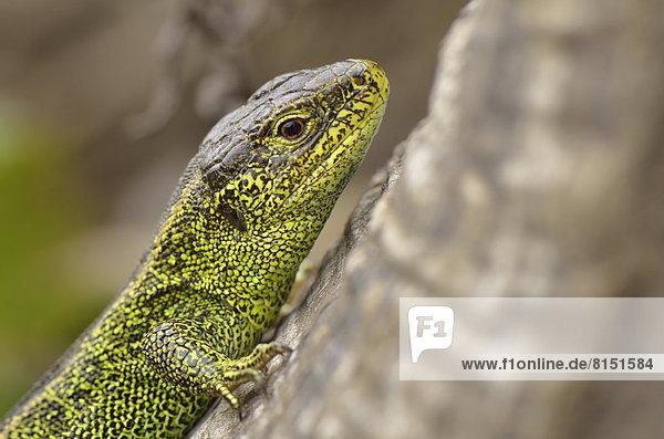 Zauneidechse (Lacerta agilis)  Männchen in Prachtfarben