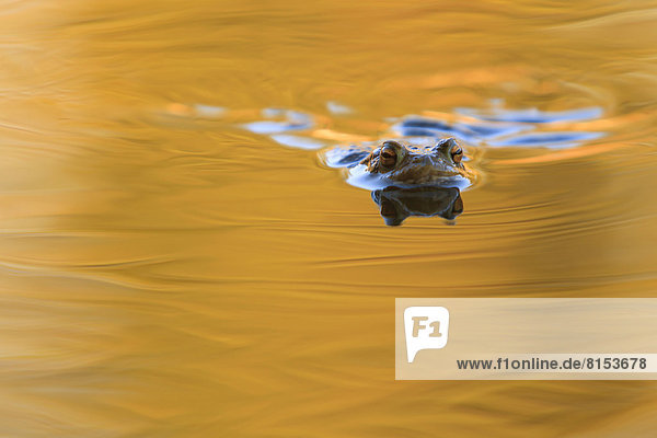 Erdkröte (Bufo bufo)  schwimmend