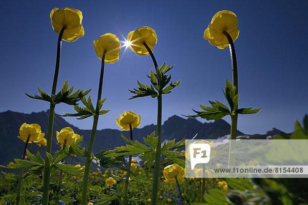 Trollblumen (Trollius europaeus) mit Bergpanorama und Sonnenstern