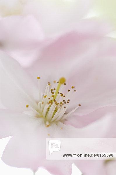 Rosa Kirschblüte  Nahaufnahme