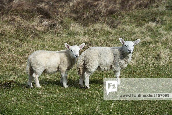 United Kingdom  Scotland  View of two lambs in field