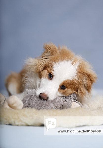 Border Collie Hund sitzend auf Teppich mit Plüschtier