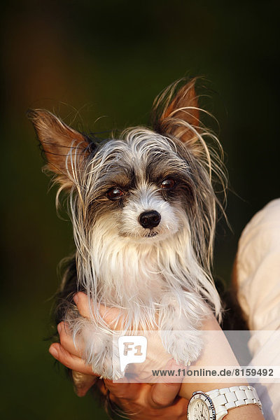 Deutschland  Baden Württemberg  Chinesischer Schopfhund in der Hand  Nahaufnahme
