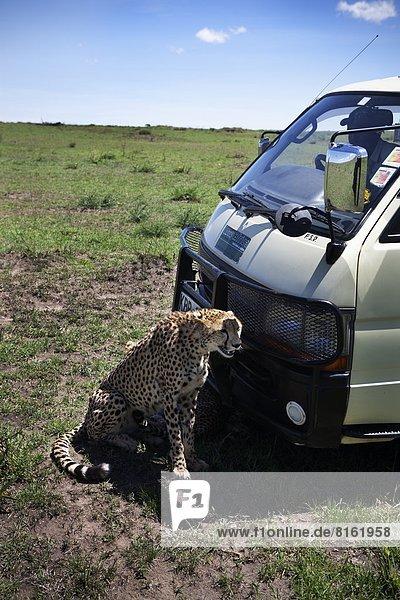 Cheetah sitting near car