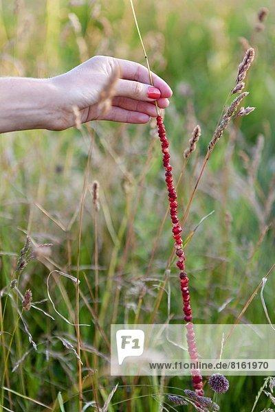 halten  ungestüm  Erdbeere  Gras