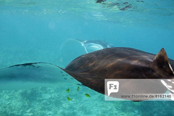 A Manta ray from behind