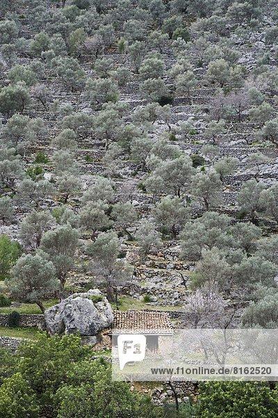 Baum umgeben Olive Steinhaus