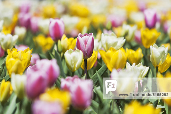 Field of tulip flowers
