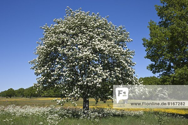 Blossoming tree in meadow