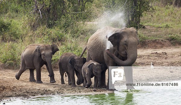 Elephants showering in puddle