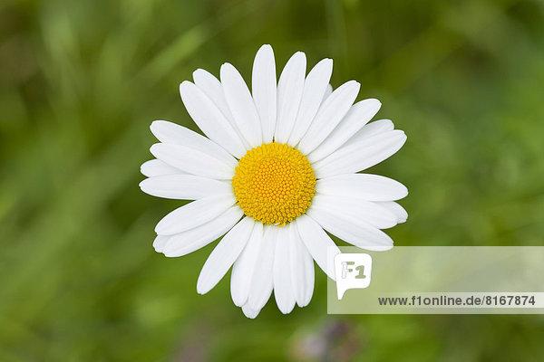 Magerwiesen-Margerite oder Wiesen-Wucherblume (Leucanthemum vulgare)  Blüte