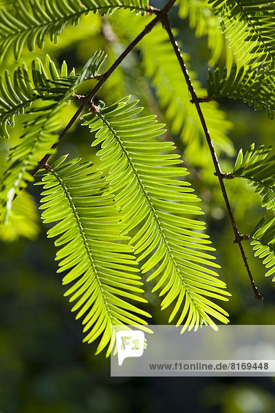 Urweltmammutbaum  Chinesisches Rotholz  Wassertanne (Metasequoia glyptostroboides)
