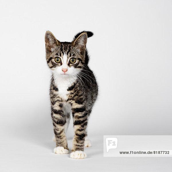 Portrait des gestreiften Kätzchens