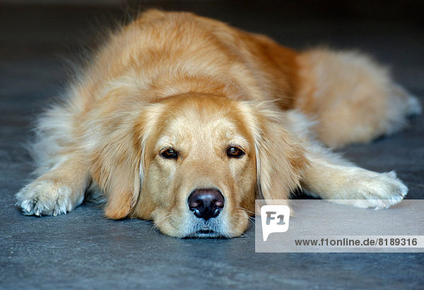 Golden Retriever liegend