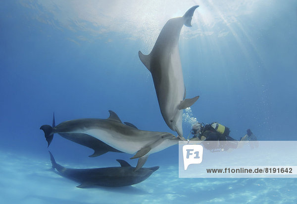 Scuba diver and Bottlenose Dolphins (Tursiops truncatus)  dolphinarium