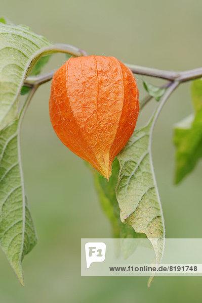 Lampionblume  Judenkirsche oder Blasenkirsche (Physalis franchetii  Physalis alkekengi)  Frucht Lampionblume, Judenkirsche oder Blasenkirsche (Physalis franchetii, Physalis alkekengi), Frucht