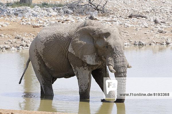 Afrikanischer Elefant (Loxodonta africana) am Wasserloch