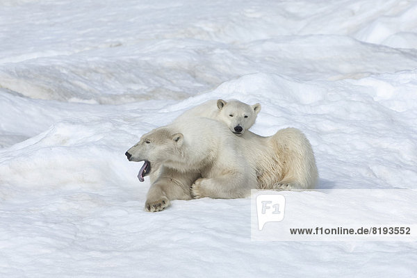 Eisbären oder Polarbären (Ursus maritimus)  Weibchen mit einem Jungtier  2 Jahre