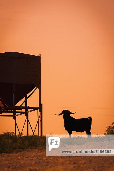 USA  Texas  Langhornziege steht neben dem Fütterer