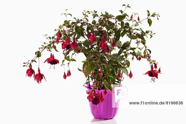 Topfpflanze der Fuchsienblüte auf weißem Grund  Nahaufnahme