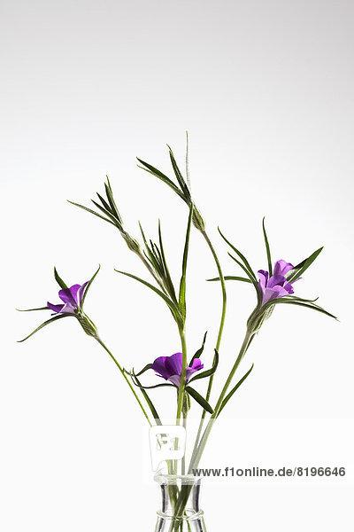 Corncockle Blumen vor weißem Hintergrund  Nahaufnahme