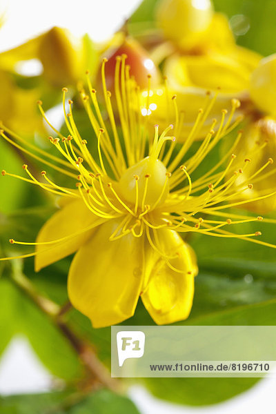 St John's Wort flowers on white background  close up