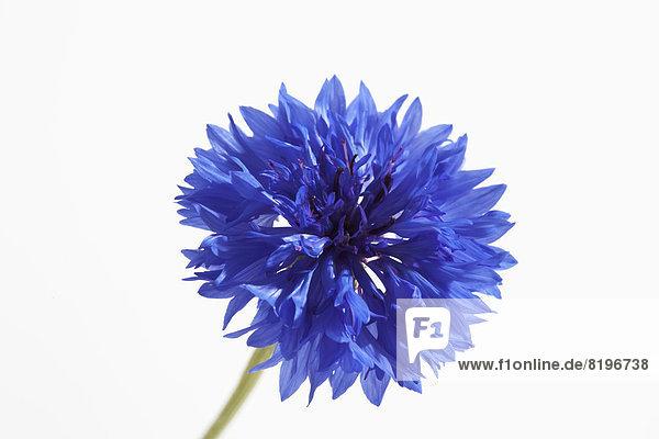 Blaue Kornblume auf weißem Grund  Nahaufnahme