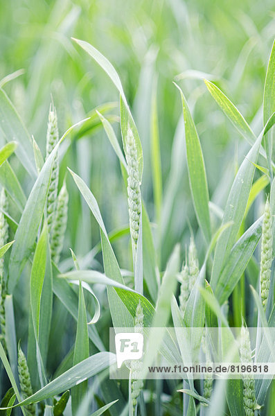 Deutschland  Baden Württemberg  Blick auf das Maisfeld
