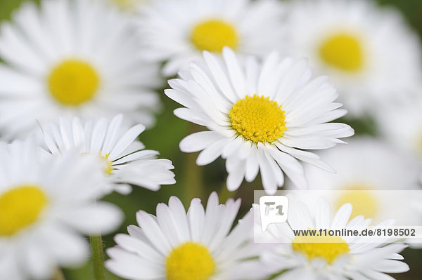 Germany  Bavria  Daisy flowers  close up